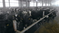 Black cows standing in stall in a barn, close up. 48008561