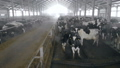 A cowshed full of cows, close up. 48008563