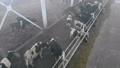 Domestic cows standing in a cowshed, top view. 48008577