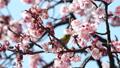 봄의 풍물 벚꽃과 동박새 48068701