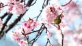 봄의 풍물 벚꽃과 동박새 48068706