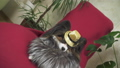 Papillon dog in beautiful suit in a fur coat and a concert hat with a butterfly is removed in the 48100414