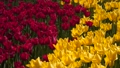 Glade of red and yellow tulips 48225801