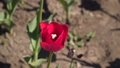 Closeup of a red tulip. Spring flowers 48225803