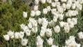 Glade of white tulips. Spring flowers 48225804