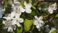 Apple tree with blooming white flowers. 48225805