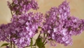 A branch of blossoming lilac. Spring flowers 48225806