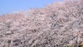 潤井川の桜並木-6030197 48226958