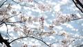桜-6030370 48226965