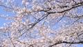 桜-6030396 48226966