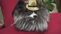 Papillon dog in beautiful suit in a fur coat and a concert hat with a butterfly is removed in the 48315392