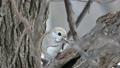 從前面斜射地射入一棵進入樹木和吃樹堅果的moomonga 48345971