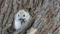 在吃在樹期間,射擊在一隻飛行的灰鼠前面 48345981