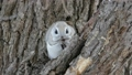 前面momonga面頰在樹的樹堅果 48345987
