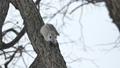 在一棵樹上玩Momonga,慢慢地移動他的鼻子和鬍鬚 48345993