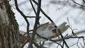 Momonga跳躍並跳躍在樹枝上的大樹堅果 48345999
