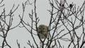Momonga在薄分支黏附大樹堅果 48346011
