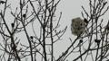 Momonga在薄分支黏附大樹堅果 48346012