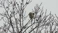 Momonga在薄分支黏附大樹堅果 48346013