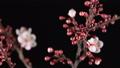 spring sakura pink flower blossoming branch 48361619