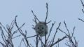 Momonga吃在高樹枝的胸口堅果 48385115