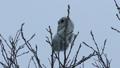 Momonga吃在高樹枝的胸口堅果 48385117