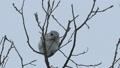 Momonga吃在高樹枝的胸口堅果 48385119