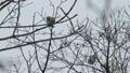 在樹枝上吃樹堅果的兩個摩門教徒 48438771
