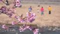 河津櫻花在風中搖曳,家人在河裡玩耍 48447249