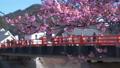 從河津櫻花和橋樑看櫻花的人們 48459243