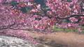 河津櫻花樹在河的背景下搖晃(聚焦) 48459633