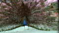 Peacock bird wonderful feather open wheel portrait 48513426