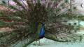 Peacock bird wonderful feather open wheel portrait 48513427