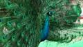 Peacock bird wonderful feather open wheel portrait 48513429