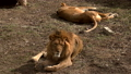 A pair of lions lying in the sun in the morning,  48513433