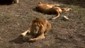 A pair of lions lying in the sun in the morning,  48513434