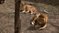 A pair of lions lying in the sun in the morning,  48513436