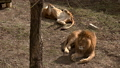 A pair of lions lying in the sun in the morning,  48513438
