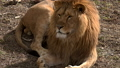 A pair of lions lying in the sun in the morning,  48513440