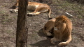 A pair of lions lying in the sun in the morning,  48513444