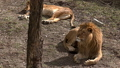A pair of lions lying in the sun in the morning,  48513446