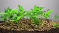 Marijuana Plant Growing on a Light Background 48567151