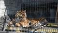 ベンガルトラ 動物園 飼育個体 48593476