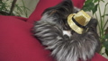 Papillon dog in beautiful suit in a fur coat and a concert hat with a butterfly is removed in the 48599213