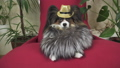 Papillon dog in beautiful suit in a fur coat and a concert hat with a butterfly is removed in the 48599217