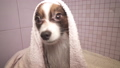Papillon dog in towel after bathing in the bathroom stock footage video 48599219