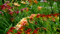 flowerbed fragment with a different varieties of lilies 48605021