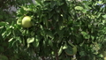 Grapefruit tree swaying in wind on summer day. Ripe pomelo fruits hanging on tree in spring garden 48688603