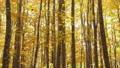 10月 紅葉の安比高原のブナ二次林 48723743