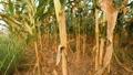 Organic Corn Field Farmland Plantation. FullHD Slowmotion Steadycam Agriculture Concept. Bali 48776666